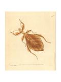 Dead-Leaf Mantis, Deroplatys Desiccata Giclee Print