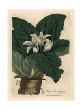 White Flowered Mandrake, Atropa Mandragora Giclee Print by James Sowerby