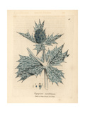 Blue Flowered Sea Holly or Eryngo, Eryngium Maritinum Giclee Print by James Sowerby