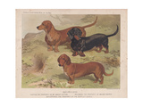 Dachshunds- Smooth, Red and Black-And-Tan Giclee Print