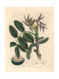 Leaves, Yellow Flower and Nut of the Common Walnut Tree, Juglans Regia Giclee Print