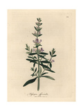 Purple Flowered Hyssop, Hyssopus Officinalis Giclee Print by James Sowerby
