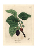 Common Mulberry Tree, Morus Nigra Giclée-tryk