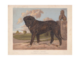 Large Black Mastiff -Wolsey- in Front of Landscaped Garden Giclee Print