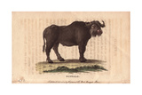 Buffalo, Bos Bubalus Giclee Print