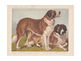Rough-Coated St Bernards Giclee Print
