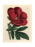 Crimson Peony, Paeonia Officinalis Giclee Print by James Sowerby