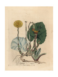 Coltsfoot Giclee Print by James Sowerby