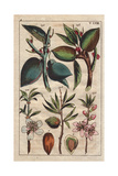 Fruit, Leaves, Blossom and Seed of the Almond Tree, Amygdalus Communis, Mandelbaum Lámina giclée