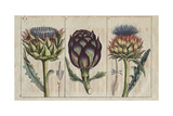 Globe Artichoke in Full Bloom, Cynara Cardunculus Giclee Print