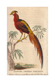 Painted Chinese Pheasant, Golden Pheasant or Chinese Pheasant Chrysolophus Pictus Reproduction procédé giclée