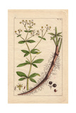 Yellow Flowered Dyer's Madder, Hairy Root and Fruit, Rubia Tinctorum Giclee Print