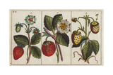 Varieties of Strawberries with Flowers and Ripe and Unripe Fruits Depicted Lámina giclée
