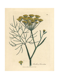 Yellow Flowered Fennel, Anethum Foeniculum Giclee Print by James Sowerby