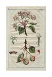 Wild Pear Tree, Blossom, Ripe Fruit, Flowers, Pyrus Sylvestris Digitálně vytištěná reprodukce