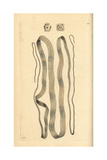 Broad Tapeworm, Diphyllobothrium Latum Giclee Print