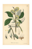 Goat Willow or Pussy Willow Tree, Salix Caprea Reproduction procédé giclée