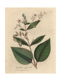 Pink Flowered Peruvian Bark Tree, Cinchona Officinalis Giclée-Druck von James Sowerby