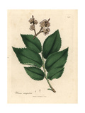 Common Elm Tree, Ulmus Campestris Giclee Print by James Sowerby