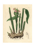 Narrow Leaved Ginger, Zingiber Officinale Giclee Print