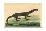 Lace Monitor Lizard, Varanus Varius Giclee Print