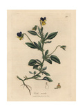Purple and Yellow Pansy, Viola Tricolor Giclee Print by James Sowerby