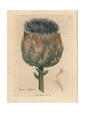 Blue and Purple Flowered Artichoke, Cynara Scolymus Giclee Print by James Sowerby