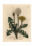 Yellow Flowered Common Dandelion, Leontodon Taraxacum Giclee Print by James Sowerby