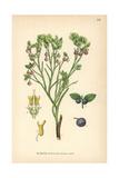 Bilberry, Myrtillus Nigra Gilib Giclee Print