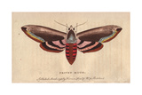 Privet Moth or Privet Hawk Moth Sphinx Ligustri Giclee Print