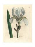 Florentine Iris, Iris Florentina Giclee Print by James Sowerby