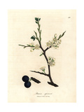 White Blossom and Blue Berries of the Sloe Tree, Prunus Spinosa Giclee Print by James Sowerby