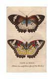 Cyane or Zigzag (Leopard Lacewing) Cethosia Cyane Giclee Print