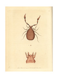 Pseudoscorpion, Chelifer Cancroides Giclee Print