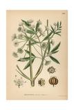 Cowbane or Northern Water Hemlock, Cicuta Virosa Giclee Print