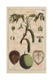 Fruit, Leaves, Flowers and Catkins of the Walnut Tree, Juglans Regia Digitálně vytištěná reprodukce