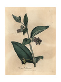 Purple Flowered Deadly Nightshade, Atropa Belladonna Giclee Print by James Sowerby