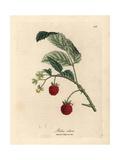 Raspberry Bush with Ripe Fruit and Yellow Flowers, Rubus Idaeus Reproduction procédé giclée par James Sowerby