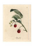 Raspberry Bush with Ripe Fruit and Yellow Flowers, Rubus Idaeus Giclée-tryk af James Sowerby