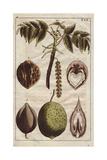 Fruit, Leaves, Catkins and Flowers of the Black Walnut Tree, Juglans Nigra Giclee Print