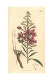Rosebay Willowherb, Epilobium Angustifolium Giclee Print by James Sowerby