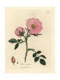 Pink Dog Rose with Rosehip, Rosa Canina Giclee Print by James Sowerby