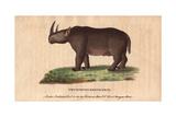 Two-Horned Rhinoceros or Black Rhino Giclee Print