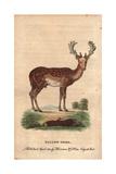 Fallow DeerDama Dama (Cervus Dama) Giclee Print