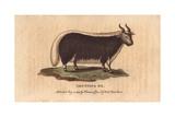 Grunting Ox or YakBos Grunniens (Or Bos Gruniens) Lámina giclée