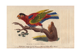 Black-Capped Lory Giclee Print