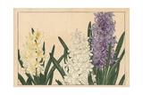 Hyacinth, Hyacinthus Orientalis Giclee Print