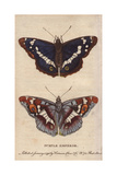 Purple Emperor Butterfly Apatura Iris Giclee Print