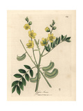 Yellow Flowered Senna or Egyptian Cassia with Seed Pods, Cassia Senna Giclee Print by James Sowerby