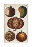 Mango, Mammee, Sapodilla, Sugar Apple Giclee Print